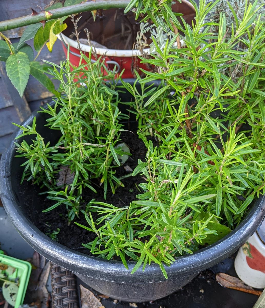 Three different rosemary cuttings